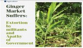 Ginger Market Suffers: Extortion by militants and Apathy of Government